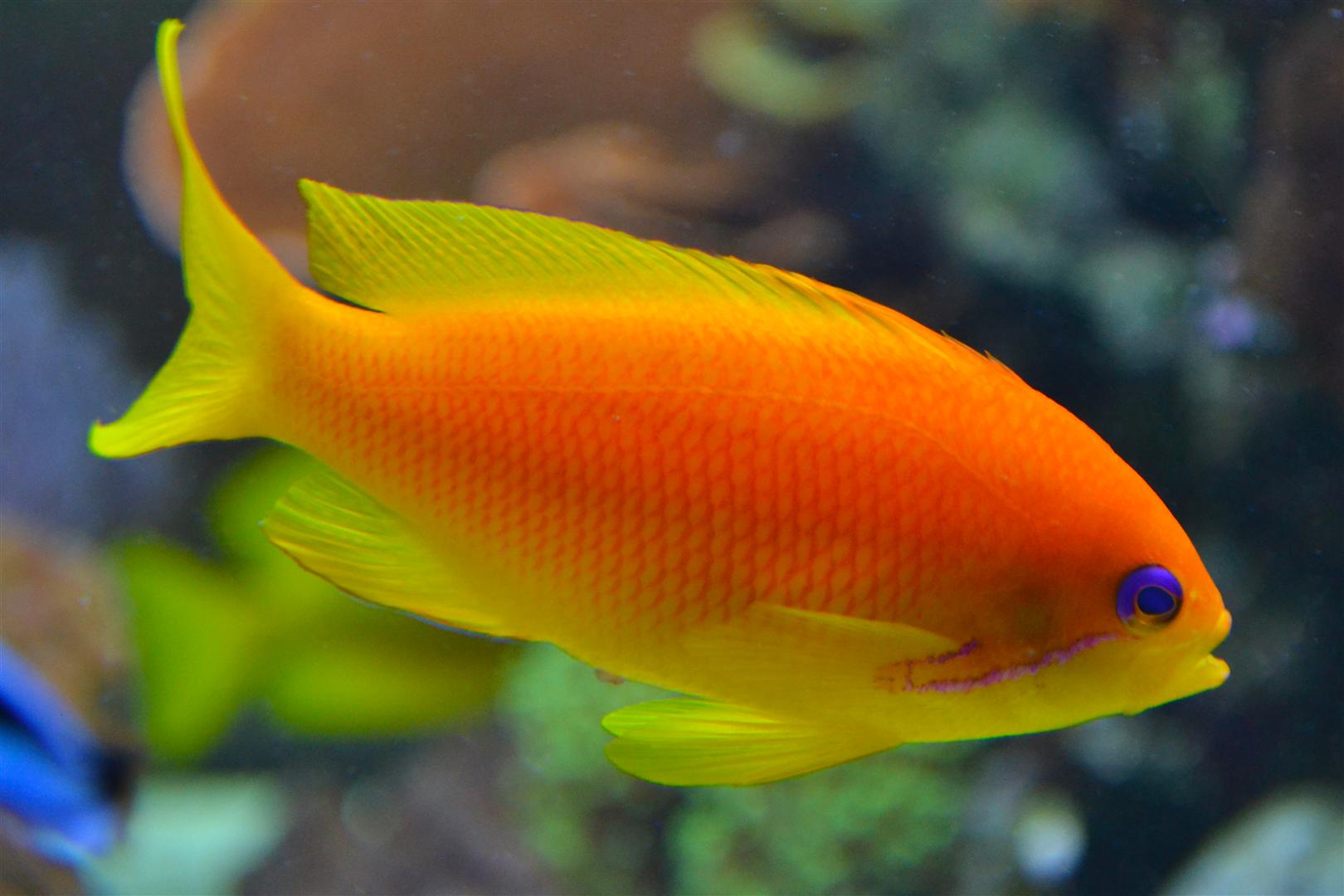 Anthias Squamipinnis Femea (Anthias squamipinnis)